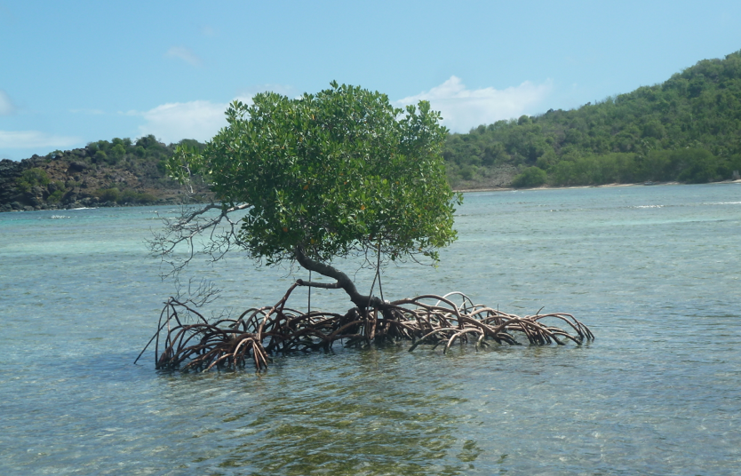 A mangrove tree, in the way to the Bubbly Pools, Jost Van Dyke