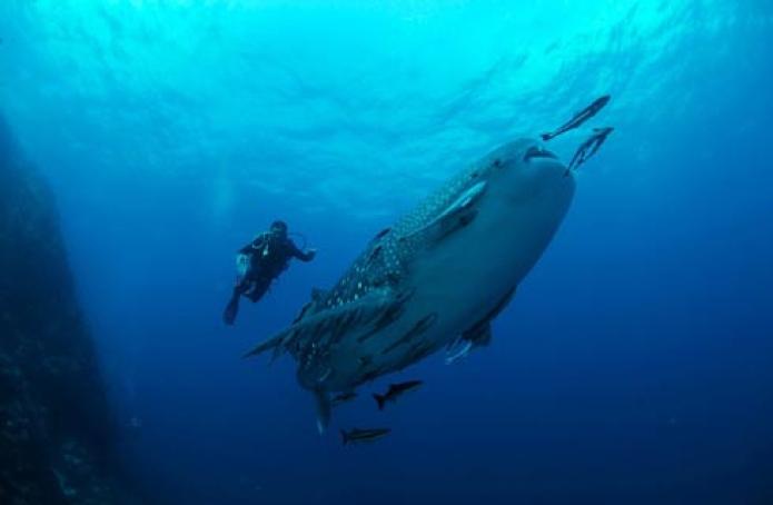 dive2 whaleshark