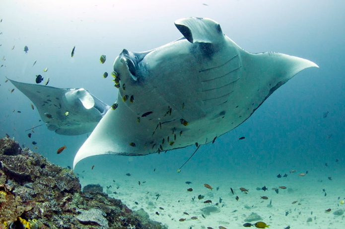 dive3 manta Andaman