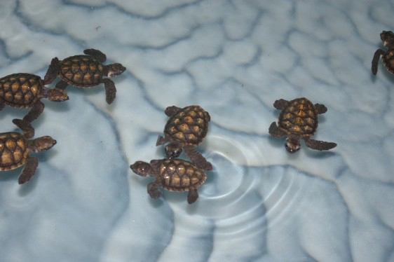 See what Old Hegg Turtle Sanctuary is doing for the Hawksbill Turtle Conservation Program